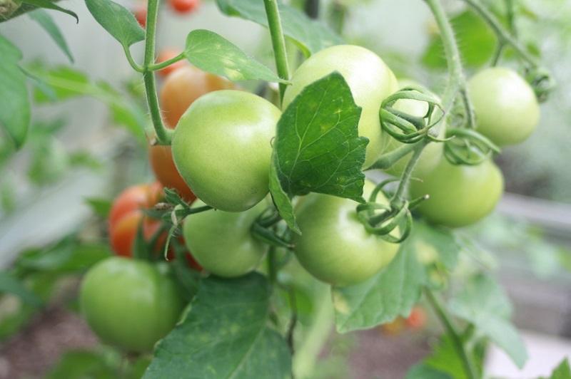 Tomaten anbauen